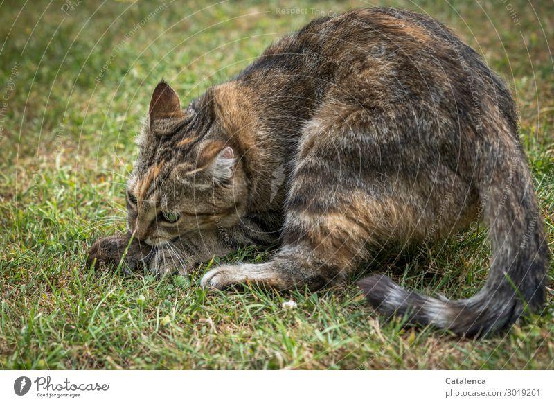 Beute II Katze Natur Sommer Pflanze grün Tier Wiese Gras Garten Spielen Tod braun Stimmung Angst Wildtier Erfolg