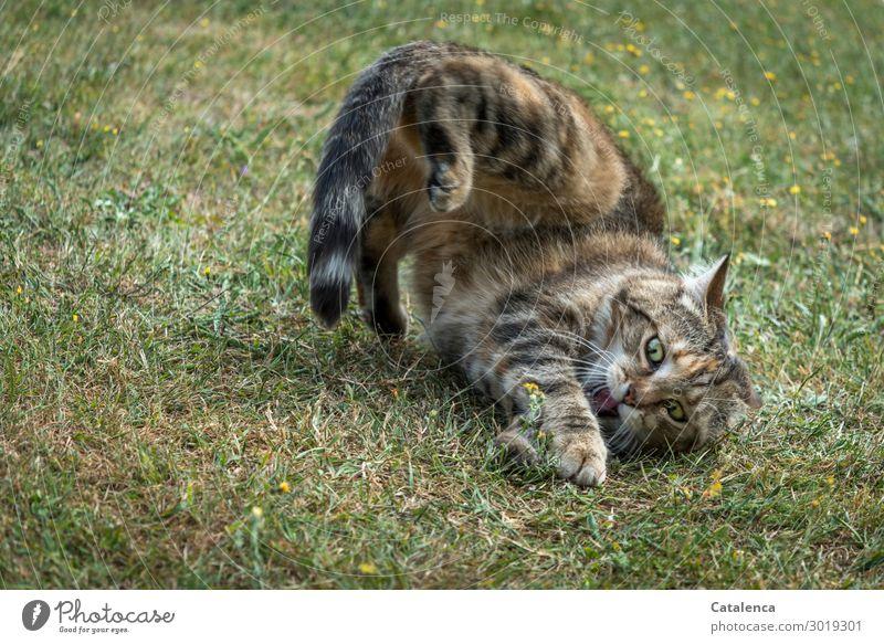Ein wenig spielen Natur Pflanze Tier Sommer Gras Garten Wiese Haustier Katze Maus 2 Fitness Fressen Jagd Spielen authentisch klein listig braun grün