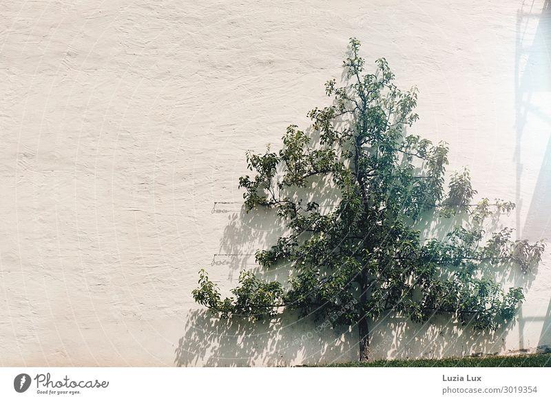 Licht und Schatten Natur Pflanze Sonne Sonnenlicht Sommer Schönes Wetter Baum Haus Mauer Wand grün Gedeckte Farben Außenaufnahme Textfreiraum links