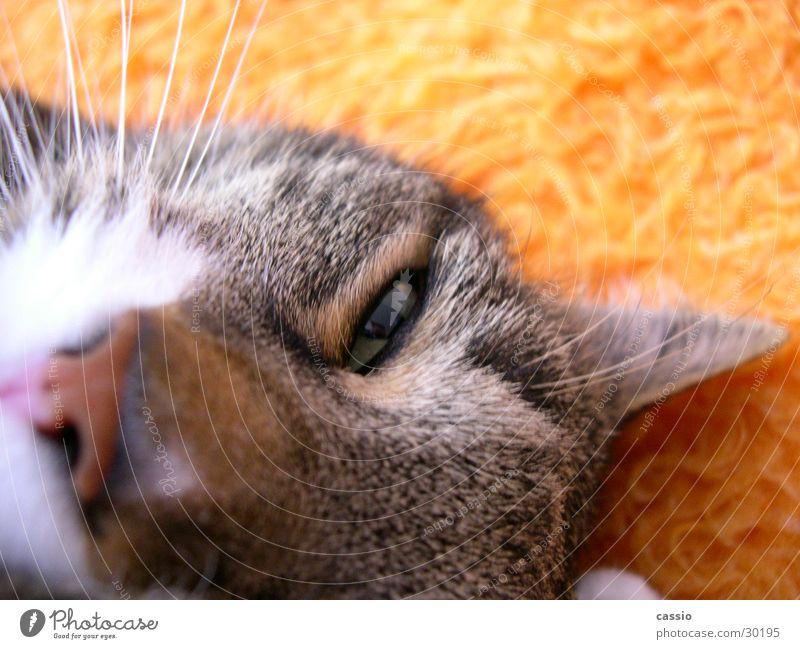 Hey du. Katze Lebewesen Tier Haustier Schnurrhaar Hauskatze Faulheit Decke