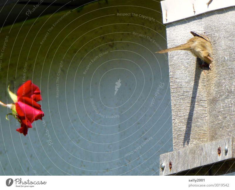 Nachbarschaft... Blume Rose Tier Vogel Spatz Feldsperling vogelhäuschen Nistkasten 1 beobachten Duft fliegen füttern hocken Häusliches Leben braun rot Sympathie
