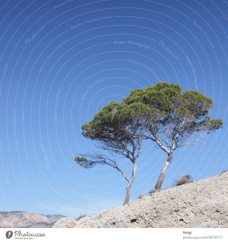 luftig | Pinien an Mallorcas Küste Ferien & Urlaub & Reisen Natur Pflanze blau grün Landschaft Baum Einsamkeit ruhig Umwelt Frühling natürlich außergewöhnlich