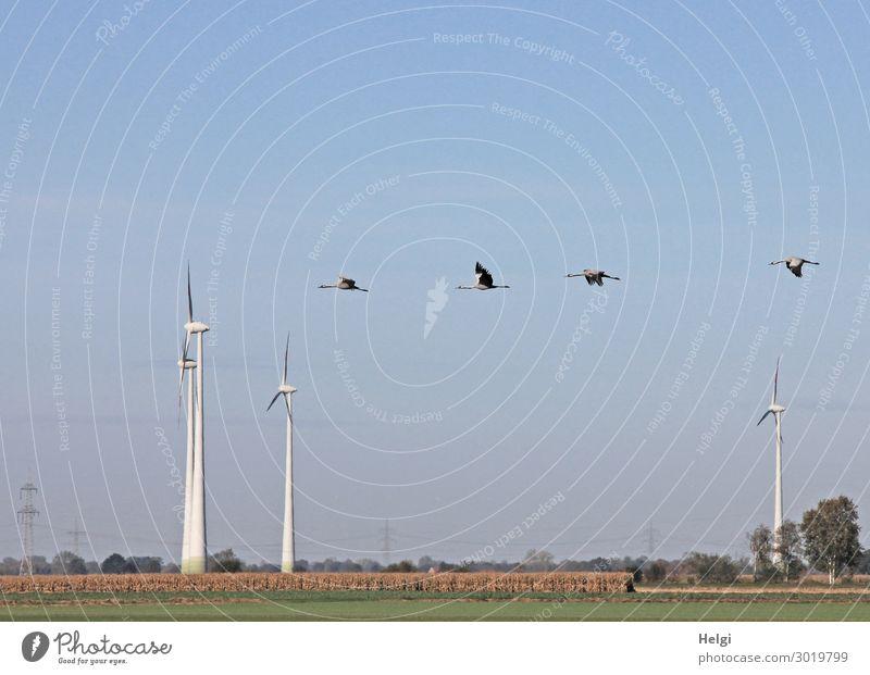 Landschaftsaufnahme mit Windkraftanlagen zwischen Feldern und vier fliegenden Kranichen vor blauem Himmel Energiewirtschaft Erneuerbare Energie Umwelt Natur