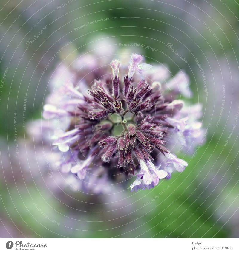 Nahaufnahme einer lila Blüte aus der Vogelperspektive Umwelt Natur Pflanze Sommer Blume Garten Blühend Wachstum ästhetisch außergewöhnlich einzigartig klein