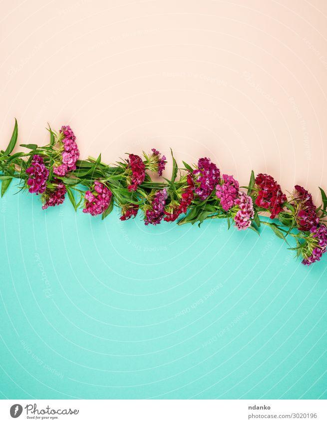 blühende türkische Nelken Dianthus barbatus Design schön Leben Sommer Dekoration & Verzierung Hochzeit Natur Pflanze Blume Blatt Blüte Mode Blumenstrauß Blühend