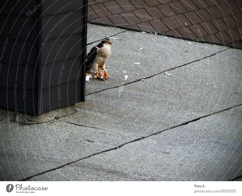Habicht Haus Dach Tier Wildtier Totes Tier Vogel Habichte Taube Feder 2 Fressen kämpfen außergewöhnlich bedrohlich lecker stark wild grau rot schwarz weiß