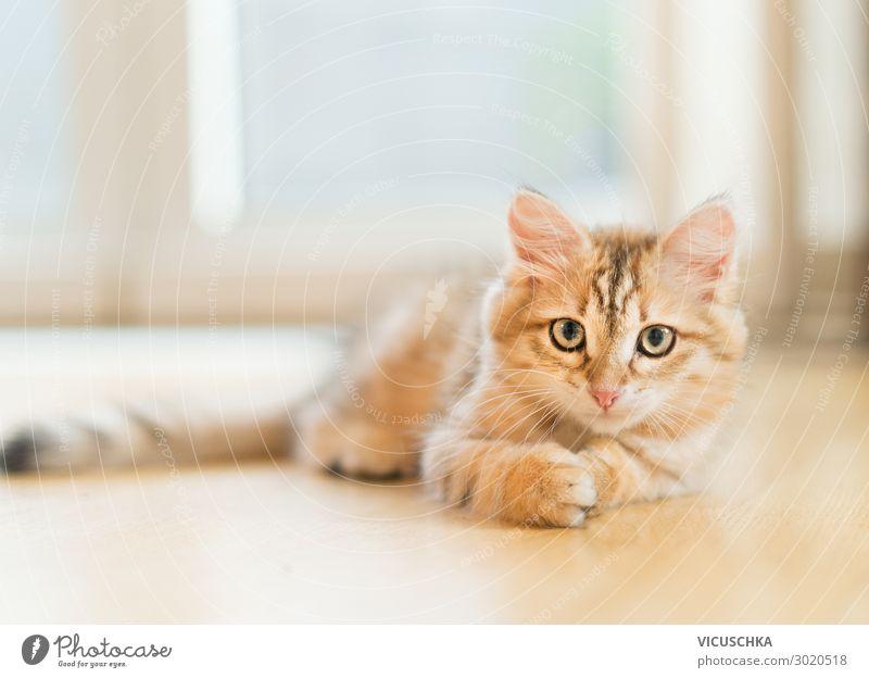 Junges, flauschiges, süßes, rotes Kätzchen, das auf dem Boden vor dem Fenster liegt. Reinrassige Sibirische Katze. Katze schaut in die Kamera jung fluffig