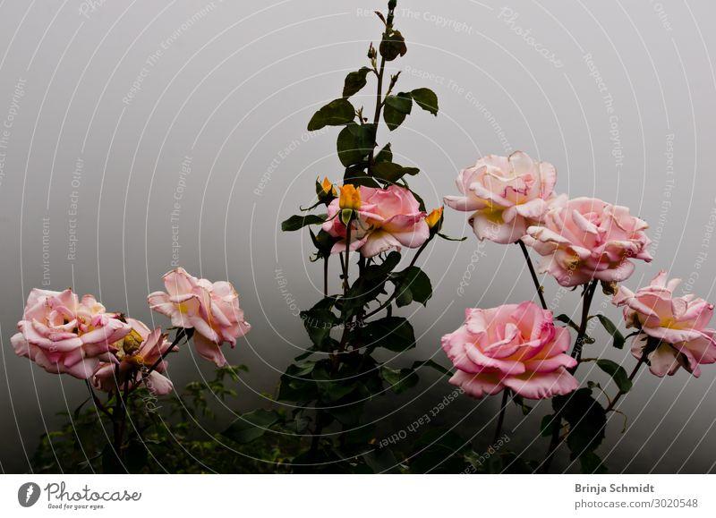 Rosa Rosenstrauch im Nebel einer herauziehenden Wolke Natur Sommer Pflanze schön Blume Erotik ruhig dunkel Liebe Blüte kalt Traurigkeit Gefühle Glück