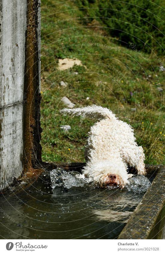 Hechtsprung Tier Haustier Hund 1 Beton Wasser Schwimmen & Baden springen tauchen toben Flüssigkeit Fröhlichkeit frisch kalt lustig nass niedlich grau grün weiß