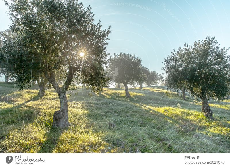 Foggy olive grove in morning dew and hazy sunlight Landscape Getränk Winter Natur nachhaltig aged agrarian agricultural agriculture branch countryside