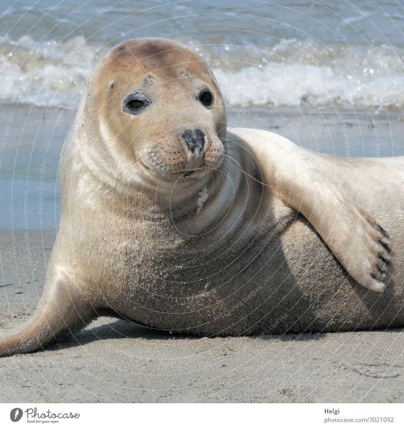 Nahaufnahme eines Seehundes am Strand auf der Düne von Helgoland Umwelt Natur Tier Sand Wasser Sommer Schönes Wetter Küste Nordsee Insel Wildtier 1 beobachten