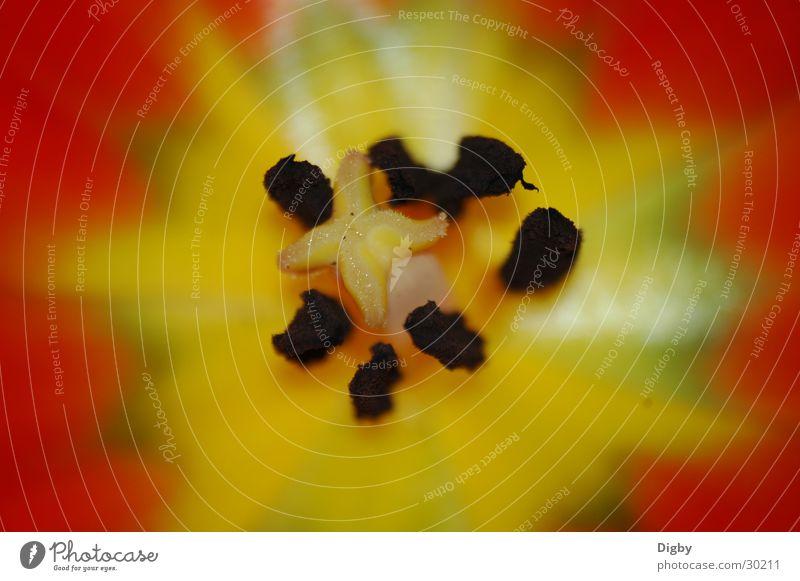 Tulpeninnenraum rot gelb Tulpe Samen Stempel