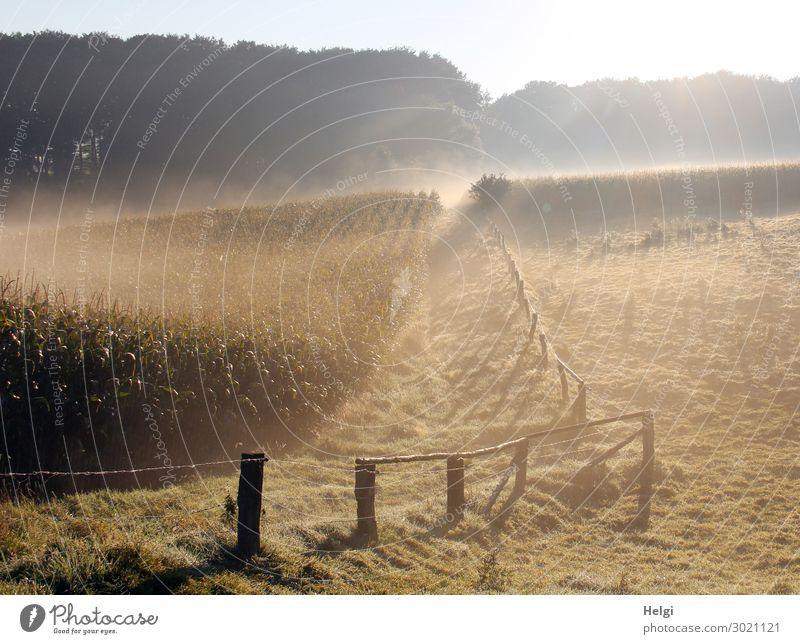 Nebellandschaft mit Maisfeld, Wiese, Zaun und Wald und Sonnenlicht Umwelt Natur Landschaft Pflanze Sommer Baum Gras Nutzpflanze Feld Zaunpfahl leuchten Wachstum