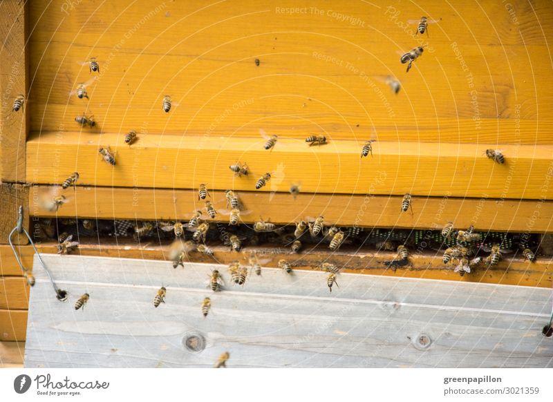 Fleißige Arbeiterinnen - Honigbienen am Bienenstock Ernährung Bioprodukte Vegetarische Ernährung Met Honigwein Tier Bienenwaben Bienenkorb Imker Imkerei