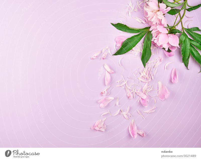 verstreute Blütenblätter von rosa Pfingstrosen elegant Design Sommer Dekoration & Verzierung Feste & Feiern Valentinstag Muttertag Hochzeit Geburtstag Natur