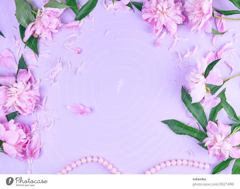 rosa Pfingstrosenblume und verstreute Blütenblätter elegant Design schön Sommer Dekoration & Verzierung Feste & Feiern Valentinstag Muttertag Hochzeit Natur