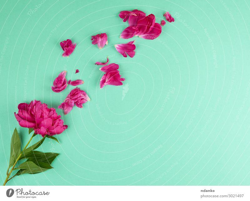 rot blühende Pfingstrose mit grünen Blättern Design schön Sommer Dekoration & Verzierung Feste & Feiern Hochzeit Natur Pflanze Blume Blüte Blumenstrauß Blühend