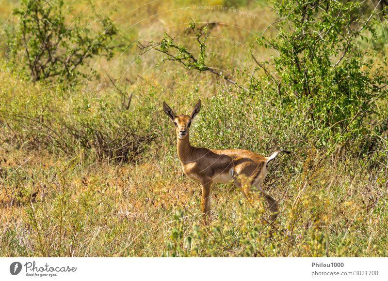 Weiblicher Impala mit jungen Impalas, Samburu Spiel Safari Frau Erwachsene Tier Neugier niedlich Afrika Kenia Aepyzeros Antilopen antilopesoorten Artiodactyla