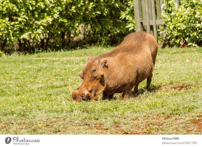 Ein Warzenschwein, das gerade aus einem Bürstendickicht auftaucht. Essen Ferien & Urlaub & Reisen Tourismus Safari Natur Tier Erde Gras Park Pelzmantel Fressen