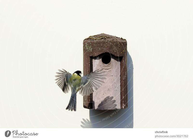 Kohlmeise fliegt zum Nistkasten Tier Vogel 1 Essen fliegen füttern Häusliches Leben Liebe Tierliebe Meisen Brutkasten Flügel Flugzeuglandung Feder Gelege Ei