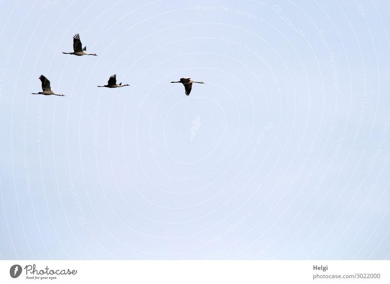 vier Kraniche fliegen in Formation vor hellblauem Himmel Umwelt Natur Tier Wolkenloser Himmel Herbst Schönes Wetter Wildtier Vogel 4 Tiergruppe ästhetisch