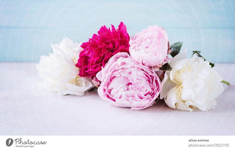 Pfingstrosen in rosa, pink und weiß vor blauem Hintergrund Frühling Blumenstrauß altehrwürdig Floristik Blühend Duft Blüte Dekoration & Verzierung