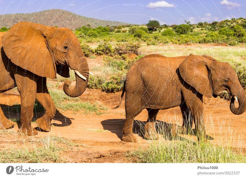 Ein Elefant und sein Kleiner. Einer bei einem Spaziergang in der Savanne Abenteuer Baby Tier Wolken Park blau schwarz Afrika Kenia Samburu Samburu Park