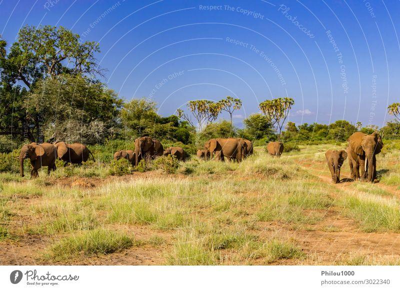 Herdenelefanten in der Savanne Spielen Ferien & Urlaub & Reisen Tourismus Safari Baby Familie & Verwandtschaft Natur Landschaft Tier Park wild Afrika Kenia