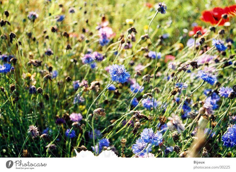 Blaue Wiese Blume blau Sommer Feld Schweden Kornblume
