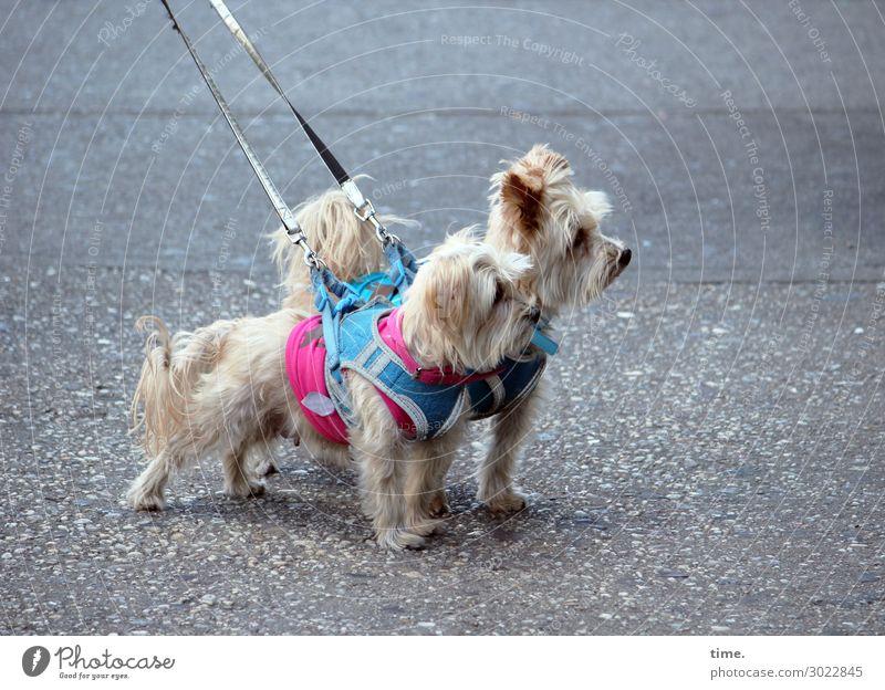 Hot Dog (across the street) Straße Asphalt Tier Haustier Hund 2 Tierpaar Dekoration & Verzierung Hundeleine Hundeblick beobachten stehen Willensstärke Einigkeit