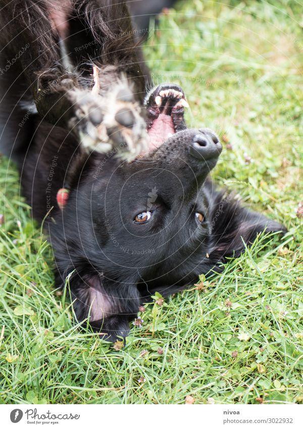 schwarzer Hund liegt auf dem Rücken Natur Tier Freude Wiese Gras Garten Spielen Freizeit & Hobby Park frei frisch liegen Fröhlichkeit Schönes Wetter