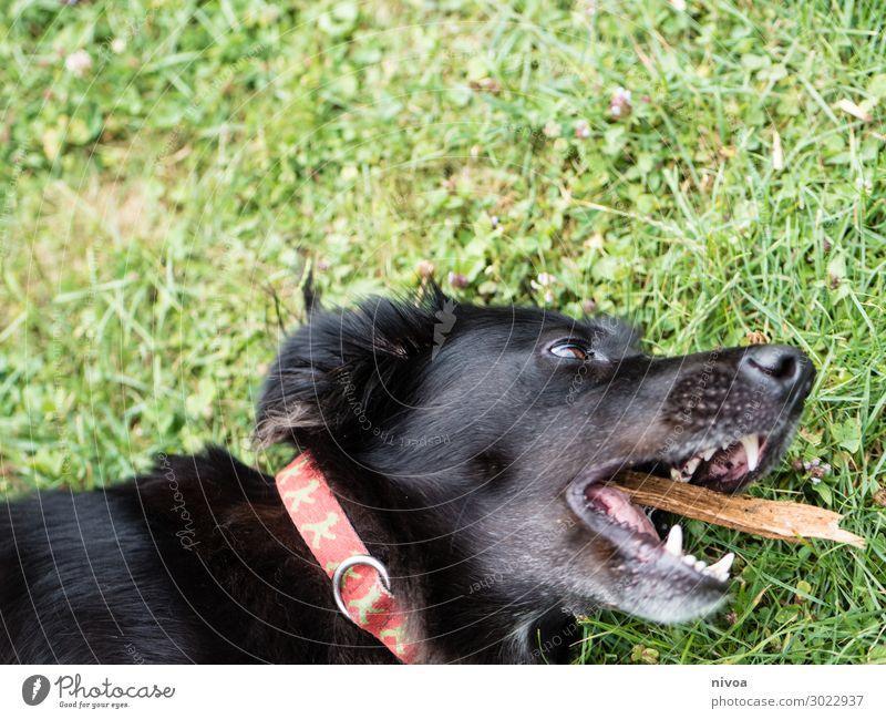 schwarzer Hund spielt mit Stock Sommer Gras Garten Hundehalsband Tier Haustier Tiergesicht 1 fangen liegen Spielen Fröhlichkeit niedlich Freude Glück