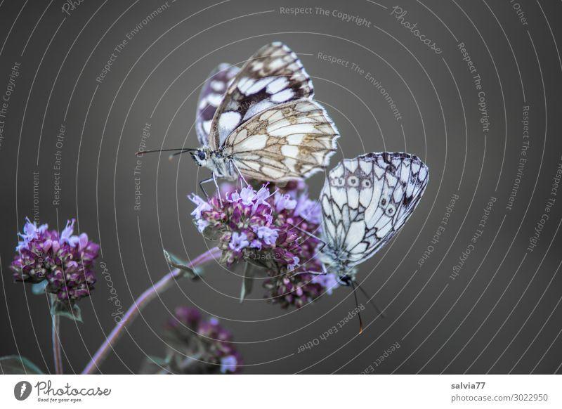 Schachbrettpaar Umwelt Natur Sommer Pflanze Blume Blüte Tier Schmetterling Flügel Insekt 2 Duft Tierpaar Farbfoto Außenaufnahme Makroaufnahme Menschenleer