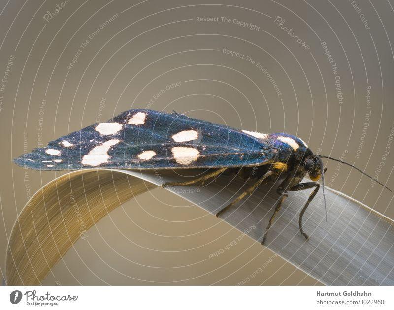 Nahaufnahme von einen Schmetterling (Nachtfalter). Sommer Natur Pflanze Tier Wiese sitzen schön Arctiinae Augen Callimorpha dominula Flügel Fühler Insekt