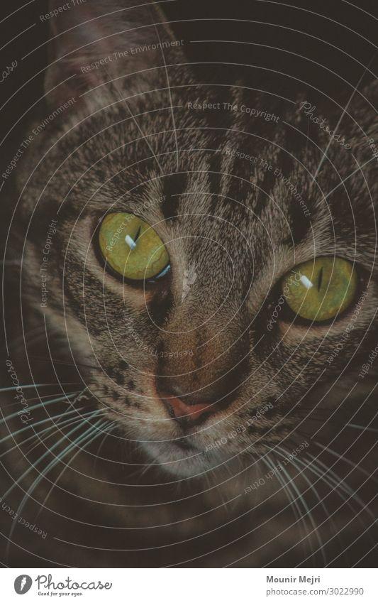 Tigrera Tier Haustier Katze Tiergesicht 1 authentisch Zusammensein niedlich schön braun grün schwarz Kraft Reinheit Freude Frieden Tiger grüne Augen Farbfoto