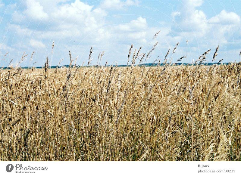 Weizen im Wind Natur Wolken Ernährung Feld Lebensmittel Getreide Landwirtschaft