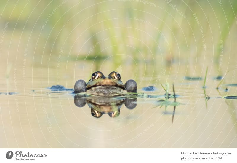 Frosch im Wasser Natur Tier Sonnenlicht Schönes Wetter Teich See Wildtier Tiergesicht Wasserfrosch Auge Maul Schallblasen Pelophylax 1 beobachten Kommunizieren