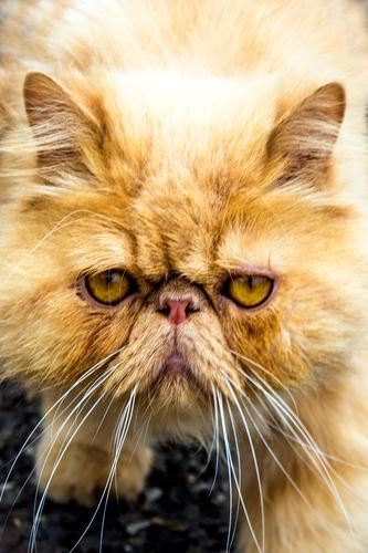 1100 | Gute-Laune-Feier Katze schön Erholung gelb Stil außergewöhnlich Denken springen leuchten Kommunizieren glänzend elegant blond ästhetisch genießen warten
