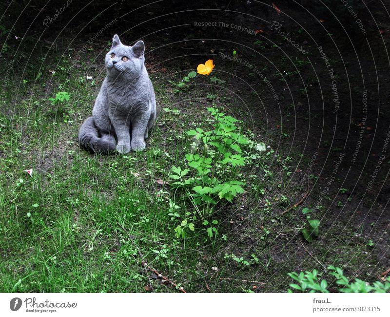 Kater mit Blume Gras Wildpflanze Garten Tier Haustier Katze 1 Blühend Blick sitzen grau grün orange schwarz Zufriedenheit ruhig Freiheit Idylle Mohn Farbfoto