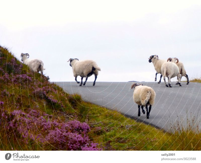 on the road again... Schottland Straße Wege & Pfade Nutztier Schaf Schafherde Tiergruppe Herde rennen laufen frei Zusammensein Lebensfreude Selbstständigkeit