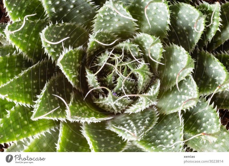 Sukkulente Sukkulenten Häusliches Leben Dekoration & Verzierung Pflanze Kaktus Topfpflanze Zimmerpflanze stachelig grün weiß Nahaufnahme Detailaufnahme Botanik
