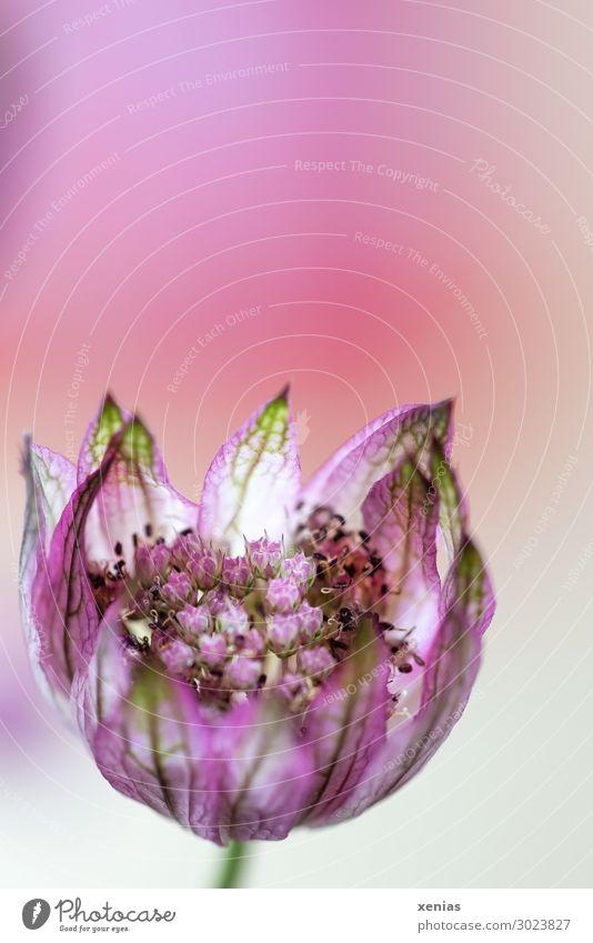 Sterndoldenblüte vor rosa Hintergrund schön grün Blume Blüte klein Doldenblütler Große Sterndolde