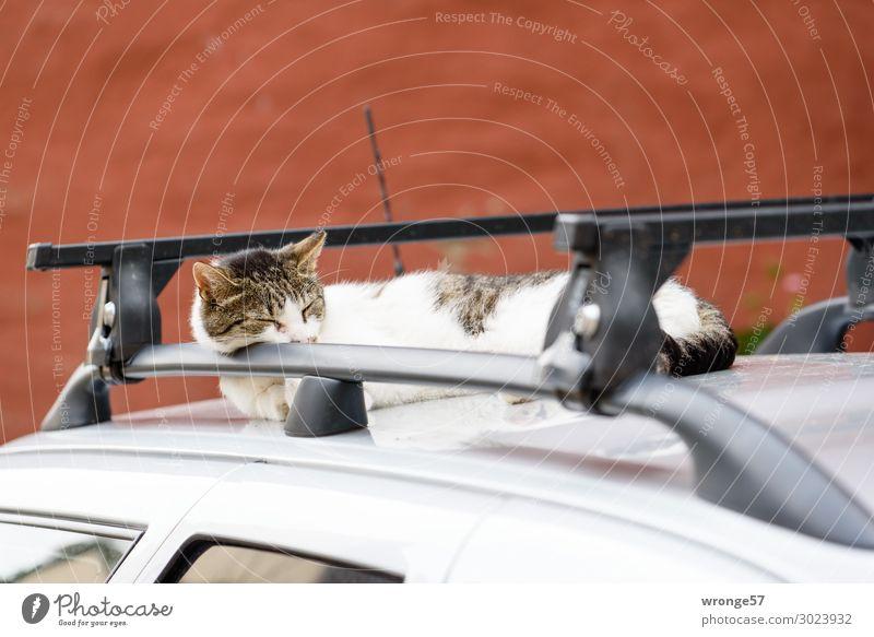 Sonnenplatz PKW Tier Haustier Katze 1 Erholung genießen schlafen träumen lustig Stadt braun mehrfarbig grau schwarz Autodach Halbschlaf Schlafplatz Hauskatze