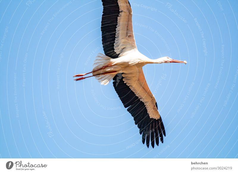 abgehoben | zur nahrungsaufnahme Natur Himmel Wildtier Vogel Flügel Storch Feder Schnabel Küken fliegen Fressen außergewöhnlich fantastisch frei hoch schön blau