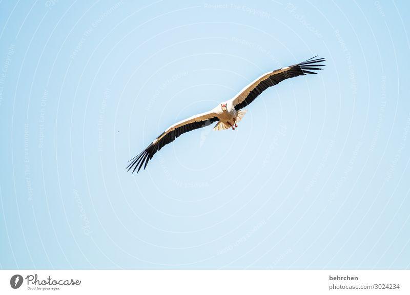 luftig | beim fliegen fressen Himmel Wildtier Vogel Tiergesicht Flügel Storch Feder Küken Fressen außergewöhnlich beeindruckend hoch Luft blau Freiheit