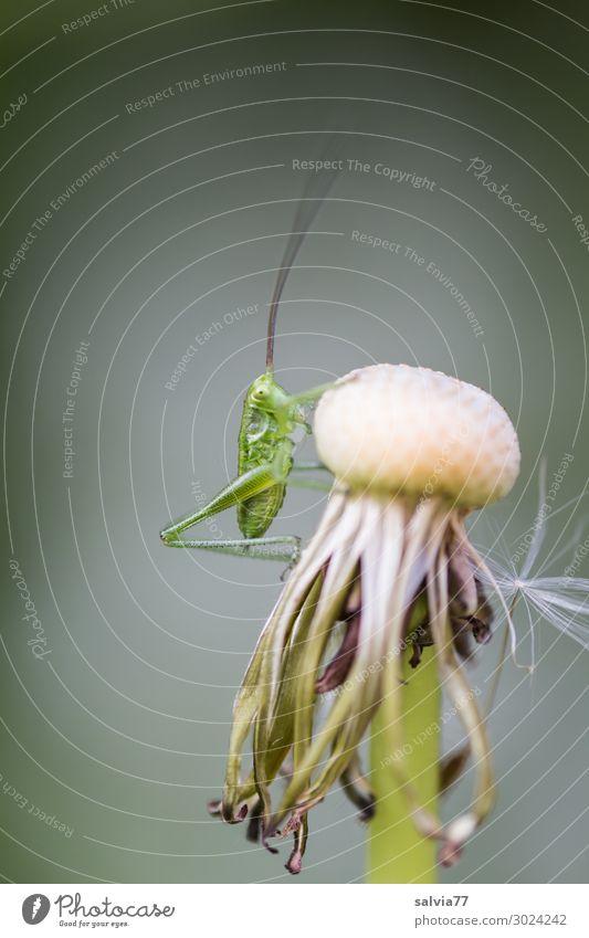 kleiner Hüpfer Umwelt Natur Pflanze Tier Wildpflanze Löwenzahn Fruchtstand Wiese Wildtier Insekt Langfühlerschrecke Heuschrecke 1 krabbeln Leichtigkeit