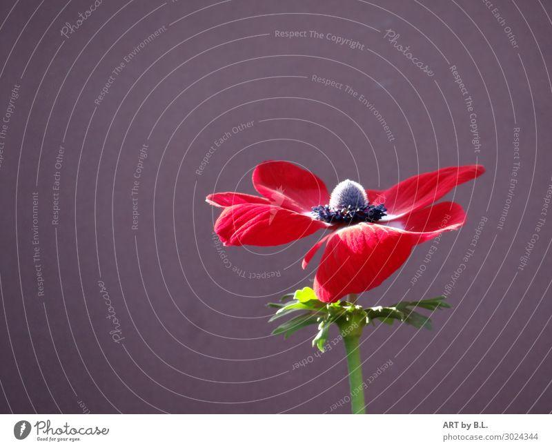 geöffnet Pflanze Frühling Sommer Blume Blüte Garten Park Duft verrückt weich grün rot schwarz Energie entdecken Erholung Gefühle Hoffnung Farbfoto Außenaufnahme