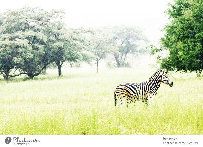 allein Ferien & Urlaub & Reisen Tourismus Ausflug Abenteuer Ferne Freiheit Safari Natur Landschaft Baum Gras Wildtier Tiergesicht Fell Zebra 1 außergewöhnlich