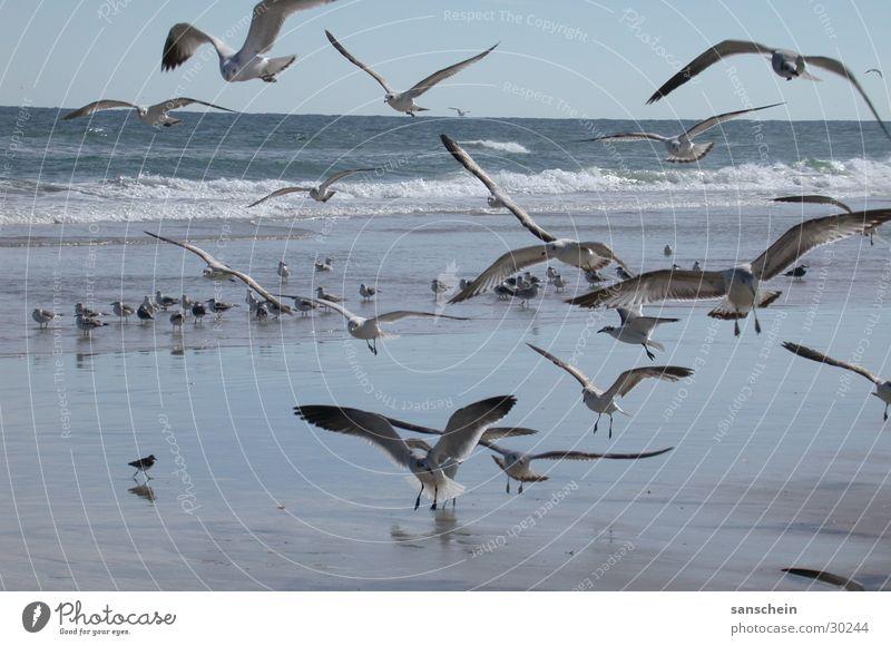 daytona beach 01 Natur Meer Strand Tier Vogel Amerika Möwe Florida Daytona Beach