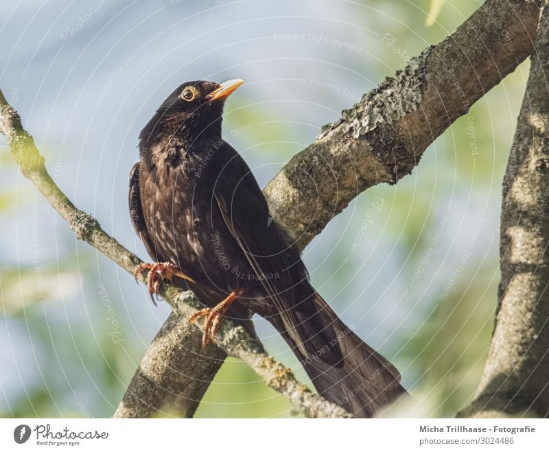 Amsel im Baum Natur Tier Himmel Sonnenlicht Schönes Wetter Zweige u. Äste Wildtier Vogel Tiergesicht Flügel Krallen Kopf Schnabel Auge Feder gefiedert 1